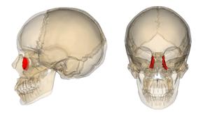 Lacrimal_bone_2