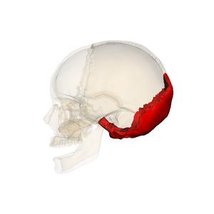 Occipital_bone_090_000