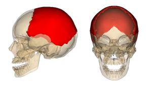 Parietal_bone