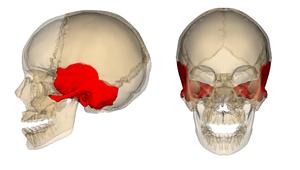 Temporal_bone