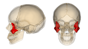 Zygomatic_bone